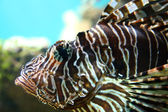 Lionfish close-up in tropical aquarium — Foto Stock