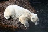 White bear cub — Stock Photo