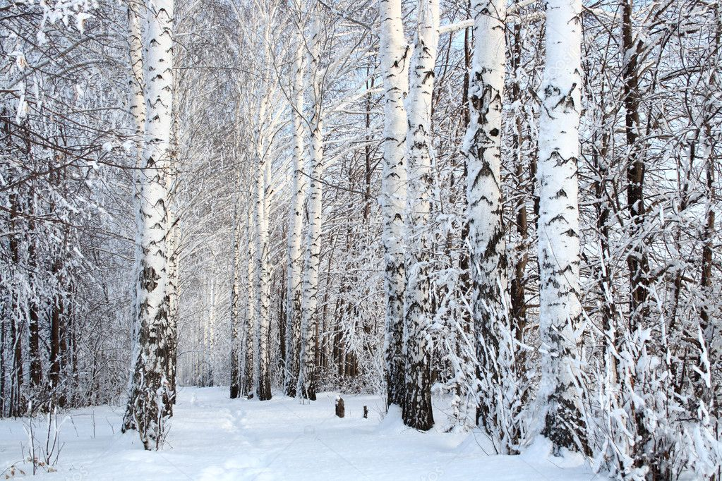 Russian winter birch woods alley — Photo #1113222