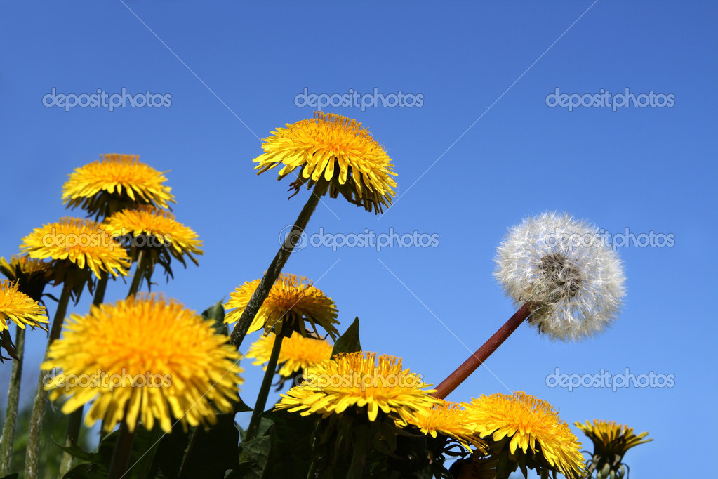 Different concepts with dandelion flowers  Stock Photo #1116061