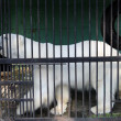 Stock Photo: White bear in cage