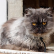 Stock Photo: Persian cat on window