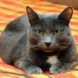 Stock Photo: Big gray cat