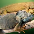 Two iguana - Stock Photo