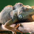 Iguana on branch - Stock Photo