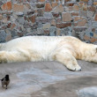 Sleeping polar bear — Stockfoto