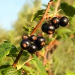 Black currant berry - Stock Photo