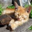 Stock Photo: Small cat sleeping