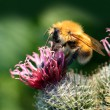 Bumble-bee on thistle flower — Stock Photo