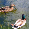 Ducks couple — Stock Photo