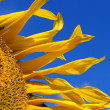 Fragment of sunflower — Foto de Stock