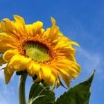 Yellow sunflower under blue sky — Stock Photo