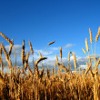 Stock Photo: Stems of wheat