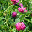 Royalty-Free Stock Photo: Clover flowers