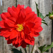Red dahlia flower — Foto Stock