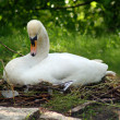 Sitting swan — Stock Photo
