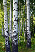 Birch woods — Stock Photo