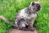 Shaggy persian cat — Stock Photo