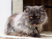 Persian cat on window — Stock Photo