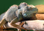 Iguana on branch — Stock Photo