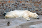 Sleeping polar bear — Stock Photo