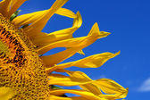 Fragment of sunflower — Stock Photo
