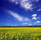 Sunflowers field under sky — Stock Photo