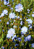 Chicory flowers — Stock Photo
