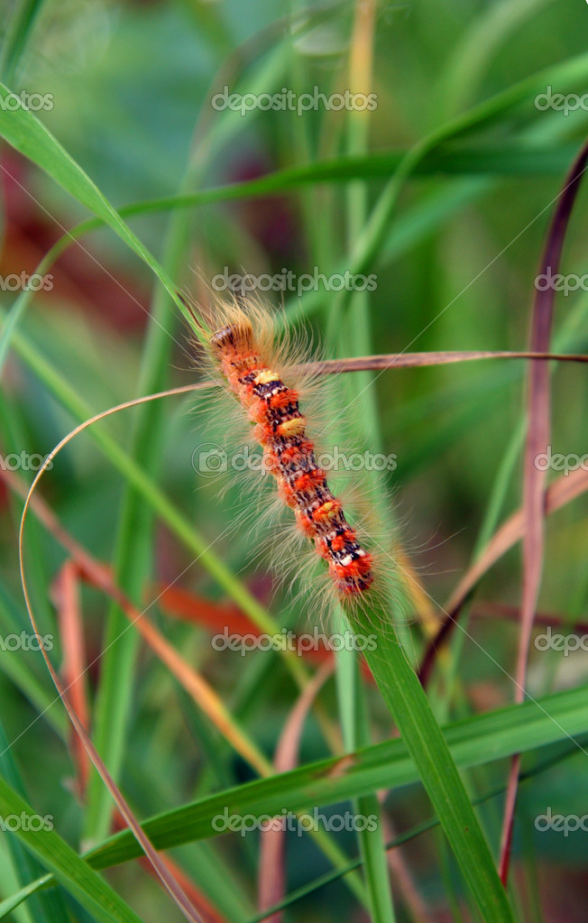 Red hairy caterpillar in green grass  Stock Photo #1125123
