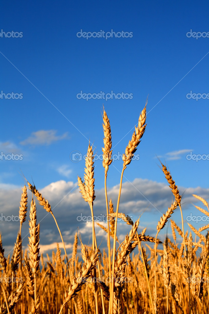 Stems of the wheat in sunset light  Stock Photo #1129678