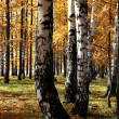 Autumn birch and larch trees — Stock Photo #1582816