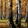 Stock Photo: Autumn birch and larch trees