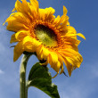 Sunflower under blue sky — Stock Photo