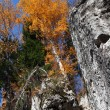 Autumn birch on rock — Stock Photo