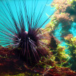 Sea-urchin - Stock Photo