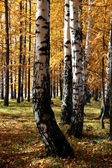 Autumn birch and larch trees — Stock Photo