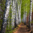Stock Photo: Spring birch woods alley