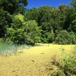 Summer landscape with bog — Stock Photo #1595723