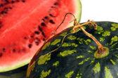 Watermelon with dry stem — Stock Photo
