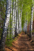 Spring birch woods alley — Stock Photo