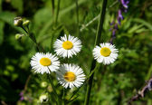 Four camomiles with narrow petals — Stock Photo