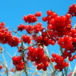 Stock Photo: Snowball tree berryes