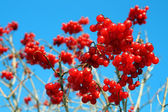 Snowball tree berryes — Stock Photo