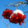 Snowball tree berryes under snow — Stock Photo