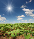 Field with beginnings sunflowers — Stockfoto