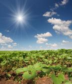 Veld met begin zonnebloemen — Stockfoto