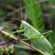 Grasshopper on grass — Stock Photo