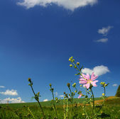 Mallow wildflower on meadow background — Stock Photo