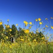 Buttercup flowers in summer meadow — Stock Photo