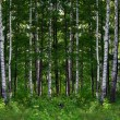 Summer birch forest landscape - Stock Photo